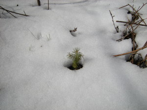 Spruce Seedling Snow